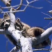 Raccoon, (Procyon lotor) Mother carrying young. Montana. Captive Animal.