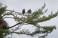 Grahamsville, New York - Bald eagles and a Baltimore Oriole, at right, perch on a branches above their nest in a tree by the Rondout Reservoir on June 18, 2013.