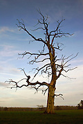 Dead Elm tree, Sherbourne, Gloucestershire, United Kingdom