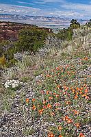 Common Globemallow (Sphaeralcea coccinea) thrives along the canyon rim.  Colorado National Monumnet.  Colorado, USA.