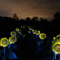 """""""The Path"""". Summer sunflowers light painted at night at McKee-Beshers Wildlife Management Area in Potomac, MD."""