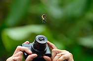 A tourist takes a photograph, with a point and shoot camera, of a caterpillar hanging from a thread of silk in Manuel Antonio National Park, Costa Rica.