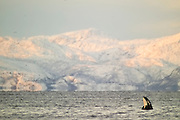 Orca or killer whale (Orcinus orca) calf spyhopping at dawn snow covered Lofoten mountains in