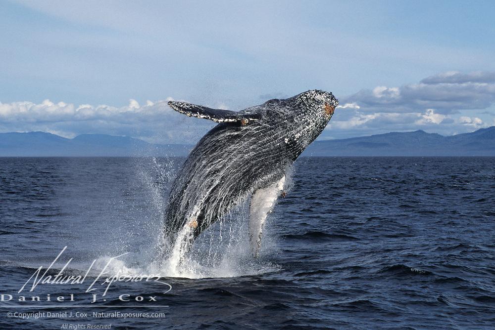 Humpback Whale (Megaptera novaeangliae) breaching in the southeast waters of Alaska.