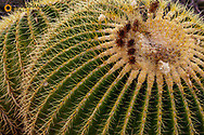 Golden Barrel Cactus at the Arizona Sonoran Desert Museum in Tucson, Arizona, USA
