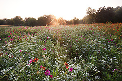Backlit wildflower field at sunset, Big Spring historical and natural area, Great Trinity Forest, Dallas, Texas, USA