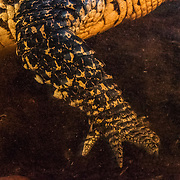 A Cuban crocodile (Crocodylus rhombifer) hand and arm photographed in a cenote in Ciénaga de Zapata National Park. Cuban crocodiles and American crocodiles are interbreeding and creating hybrid offspring that threaten the survival of the Cuban species, which is down to only 4,000 individuals and listed as Critically Endangered by the IUCN.