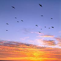 ARCTIC OCEAN. Kittiwakes soar over Barents Sea near Franz Josef Land at sunset.