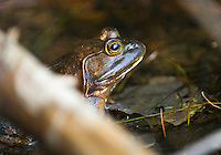 american; bullfrog; lithobates; catesbeianus; previously; rana; catesbeiana; wildlife; frog; pond; life; amphibian; swimming; animal; swamp; amphibians; bullfrogs; wet; water; muck; eye; eyeball; look; looking; color; colour; colorful; colourful; no; one; nobody; person; persons; horizontal; outdoor; concealment; side; view; submerged; conceal; camouflage; cold; blooded; marsh; pool; edge; vertical; green
