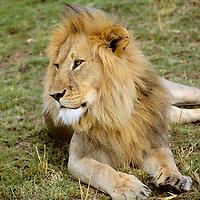 Africa, Kenya, Maasai Mara. Adult male lion.
