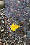 A Maple leaf on the edge of the Cameron River in Macmillan Provincial Park near Port Alberni, British Columbia, Canada