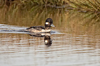 Female bufflehead duck swimming in a pond near Wakulla Beach in North Florida.