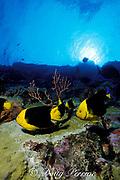 rock beauty angelfish, Holacanthus tricolor, feeding on eggs of sergeant major damselfish, Diamond Rock, Saba, Netherland Antilles ( Eastern Caribbean Sea )