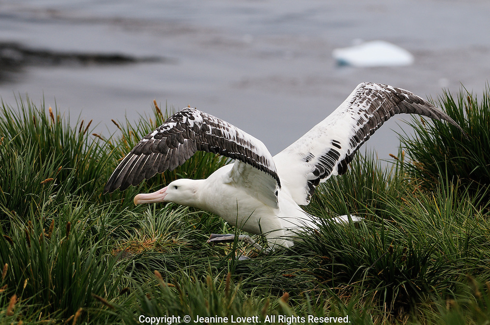wandering albatross walks thre the grass while spreading wings.