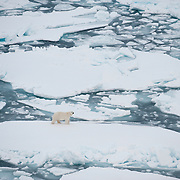 A radio-collared polar bear makes its way across the broken ice pack of the Beaufort Sea. Arctic Ocean