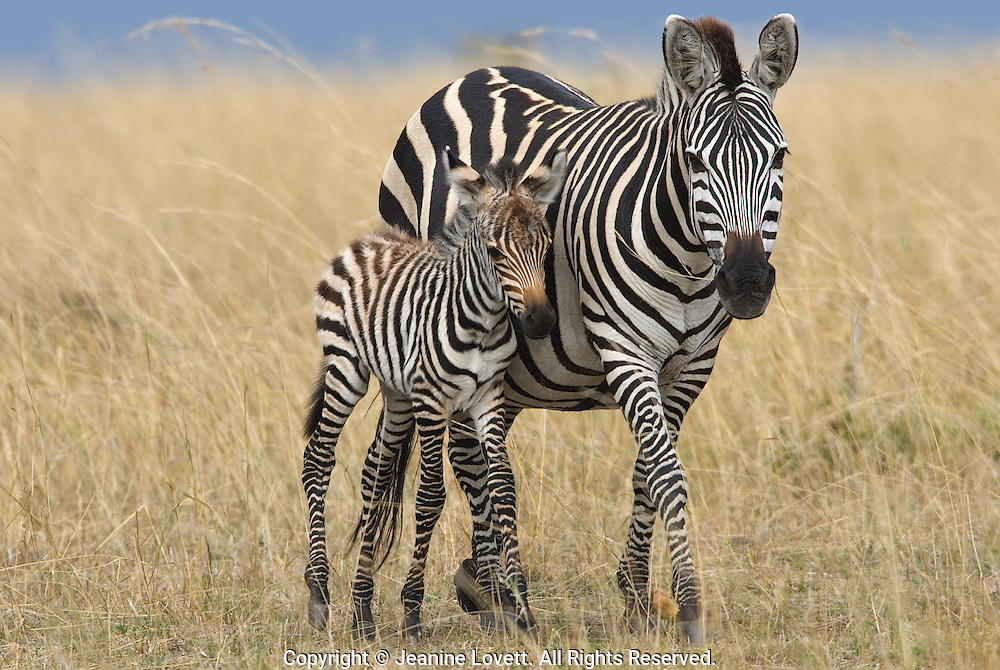 Zebra affectionately rest there heads on each others backs.