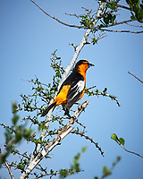 Bullock's Oriole (Icterus bullockii). Campos Viejos, Texas. Image taken with a Nikon D4 camera and 600 mm f/4 VR lens