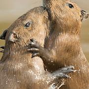 Two young capybara (Hydrochoerus hydrochaeris) play-fighting in the Cuiabá River. Pantanal, Brazil