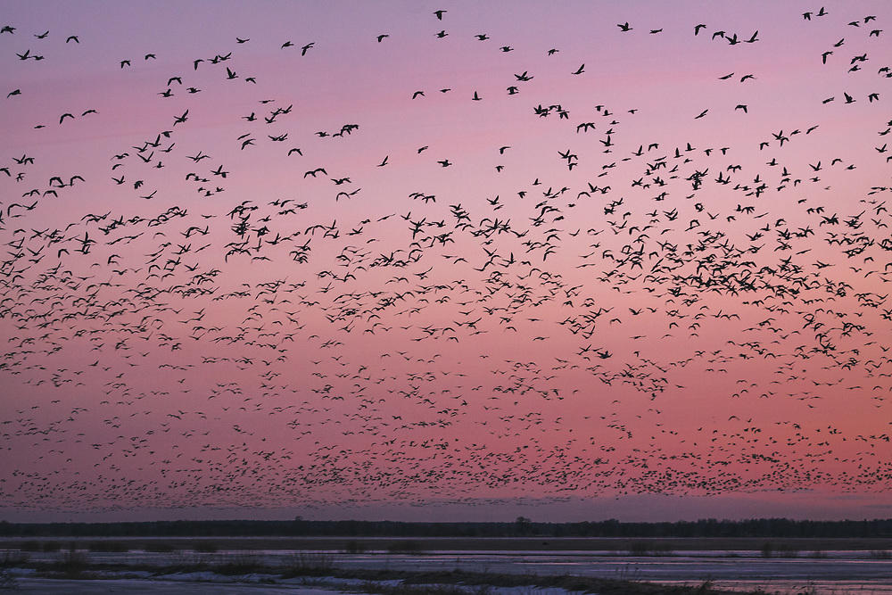 Migrating geese taking off from their roosting site, Svēte floodplains, Latvia Ⓒ Davis Ulands | davisulands.com