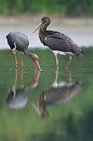 Mission: Black Storks River Elbe Germany; Biosphärenreservat Niedersächsische Elbtalaue; adult; Schwarzstorch; Black Stork; Ciconia nigra; juvenil; Biosphere Reserve Middle Elbe