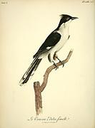 Coucou Edolio - Female from the Book Histoire naturelle des oiseaux d'Afrique [Natural History of birds of Africa] Volume 5, by Le Vaillant, Francois, 1753-1824; Publish in Paris by Chez J.J. Fuchs, libraire 1799