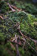 The green shield-moss (Buxbuamia viridis) - a rare bryophyte mostly growing on decomposed remains of conifer stumps, Kemeri National Park (Ķemeru Nacionālais parks), Latvia Ⓒ Davis Ulands   davisulands.com