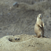 An adult prairie dog sitting up on its back haunches warily looking around. South Dakota