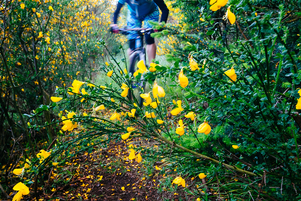 Heather Goodrich rides a singletrack trail throught the yellow hughes of spring blooming Scotch Broom.