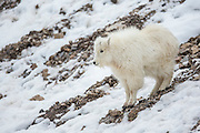 Mountain goat kid during winter in Wyoming