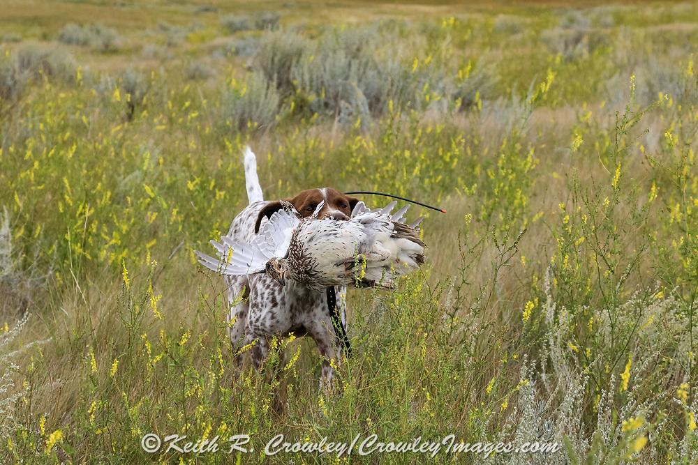 John Zeman's GSP Liza, retrieves a  Montana sharptailed grouse.