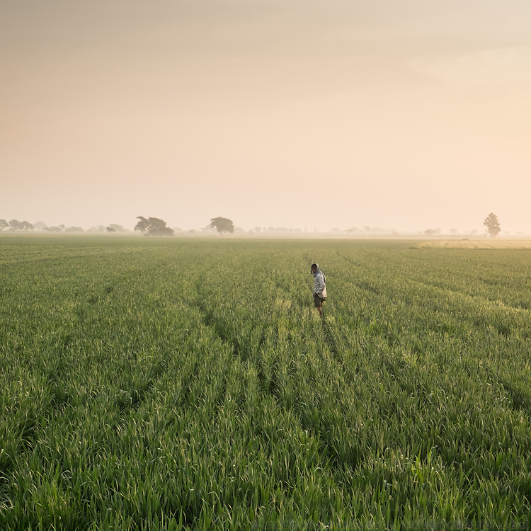 A rice field in central India.