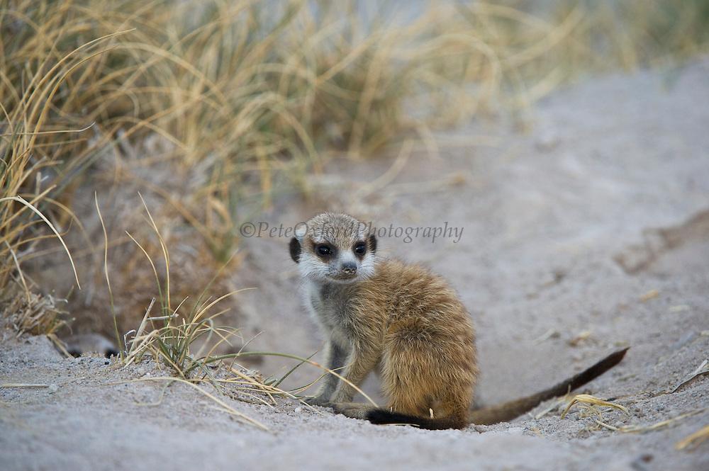 Meerkat or Suricate (Suricata suricatta) Baby at Burrow<br /> Makgadikgadi Pans, Kalahari Desert<br /> Northeast BOTSWANA<br /> HABITAT & RANGE: Kalahari Desert in Botswana, Namib Desert of Namibia, Angola and South Africa