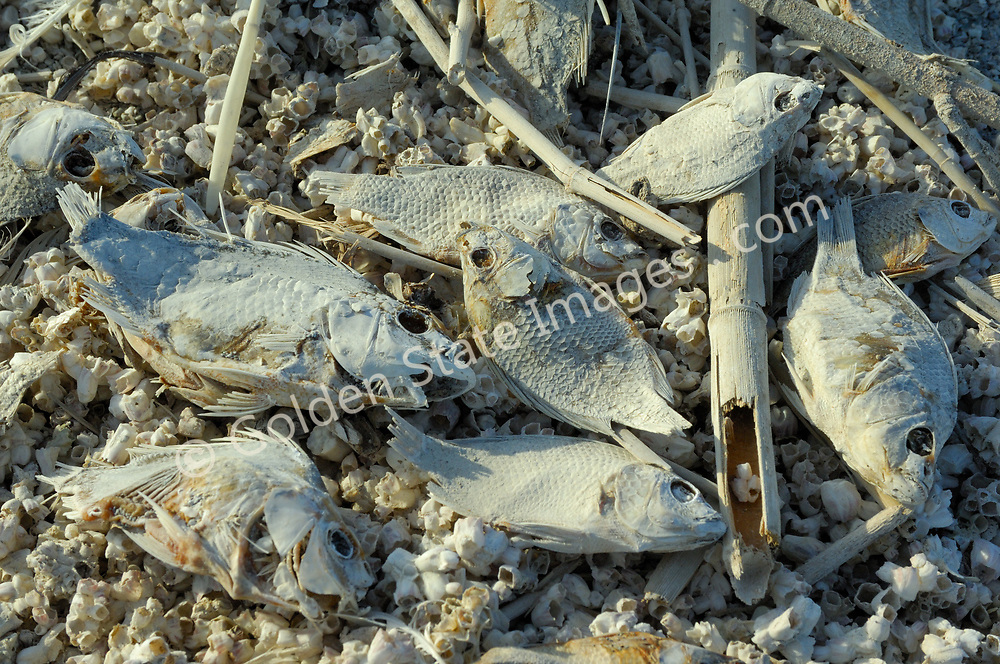 The Salton Sea has been in decline for years. Large scale fish die offs have become annual summer events since the late nineties. The major causes are believed to be the ever increasing salinity pollution from Mexico via the New River and agricultural runoff from the surrounding farmland on the southern end of the Sea. The pollutants include huge quantities of raw sewage industrial waste farm fertilizers and pesticides. <br /> <br /> As an example of the scale of past fish die offs, it was estimated that 7.6 million fish died during a single-day event on August 12 1999.