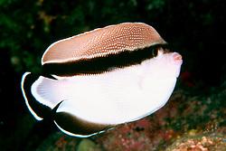 bandit angelfish, endemic to Hawaii, Holacanthus, Apolemichthys or Desmohlacanthus arcuatus, Kona, Big Island, Hawaii, Pacific Ocean