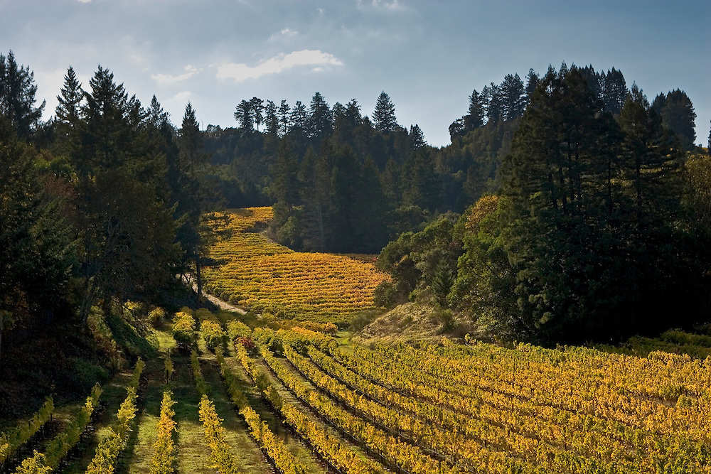 Autumnal vineyard in the Napa Valley, California, United States of America