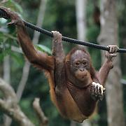 Orangutan (Pongo pygmaeus) hanging on ropes at the Sepilok Rehab Center in Borneo, Malaysia.