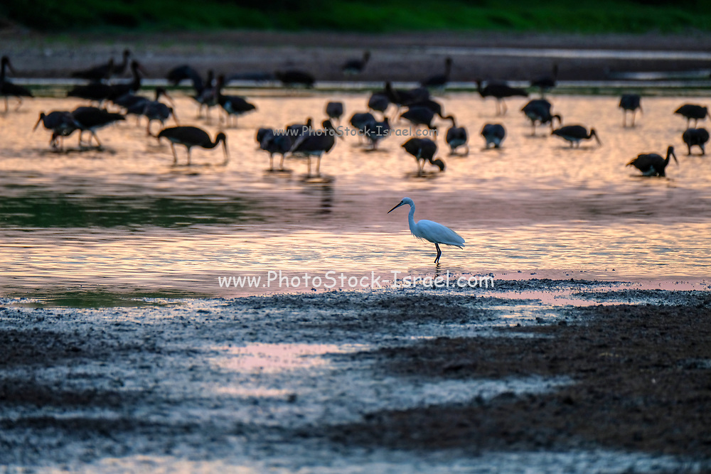Egretta garzetta - Little Egret, Photographed in Israel in September at dusk