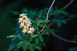 Texas Buckeye Tree (Aesculus glabra var. arguta) in flower, Texas Buckeye Trail, Great Trinity Forest, Dallas, Texas, USA.
