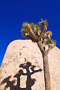 Joshua tree and shadow on boulder, Joshua Tree National Park, California