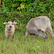 Young ox grazing on grasses as their mothers pull a farmers how. Java, Indonesia.