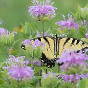 Tiger swallowtail butterfly nectaring on wild bergamot flower in tallgrass prairie setting, central Ohio.