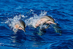 a pair of Hawaiian spinner dolphins, long-snouted spinner dolphins or Gray's spinner dolphins, Stenella longirostris longirostris, jumping out of boat wake, Kealakekua Bay, Kona Coast, Big Island, Hawaii, USA, Pacific Ocean