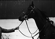 "Vincent O'Brien with 'Sir Ivor' at O'Brien Stables, Cashel. ""Sir Ivor' was owned by American businessman and U.S. Ambassador to Ireland, Raymond R. Guest. The horse was named for his British grandfather, Sir Ivor Guest, 1st Baron Wimborne. 'Sir Ivor' won three races in 1967, the Grand Criterium at Longchamp and the National Stables and the Probationers State at the Curragh. <br /> 11.03.1968"