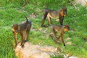 A group of female Mandrill (Mandrillus sphinx)