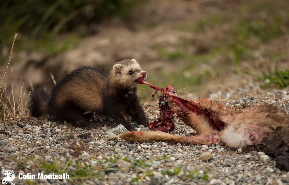 Ferret drags dead rabbit towards hole, Wanaka, New Zealand