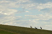 Pronghorn on the plains of Montana in spring. Charles M. Russell Natioanal Wildlife Refuge in the American Prairie Reserve region, north-central Montana.