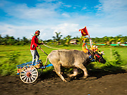 09 OCTOBER 2016 - JEMBRANA, BALI, INDONESIA: Buffalo racers (makepung) round a corner on the track during a race in Tuwed, Jembrana, Bali. Makepung is buffalo racing in the district of Jembrana, on the west end of Bali. The Makepung season starts in July and ends in November. A man sitting in a small cart drives a pair of buffalo bulls around a track cut through rice fields in the district. It's a popular local past time that draws spectators from across western Bali.     PHOTO BY JACK KURTZ