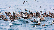 Brown pelicans and western sea gulls in the Santa Barbara Channel, Ventura, California USA