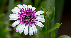 Purple Details and White Petals In The Garden