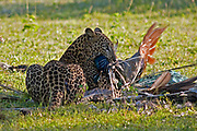 Leopard sitting in open ground having completed a peacock kill, Yala National Park, Sri Lanka